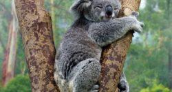 A little koala holds on.