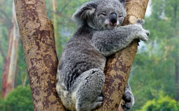 A little koala holds on.